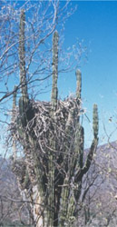 Bald Eagle Nest Photo - In Saguaro Cactus